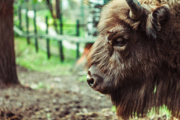 bison in the reserve stock photo