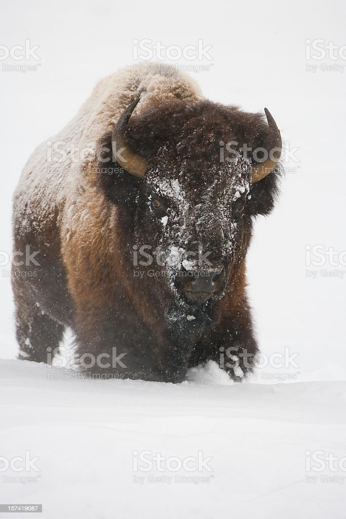 Bison im Winter – Foto