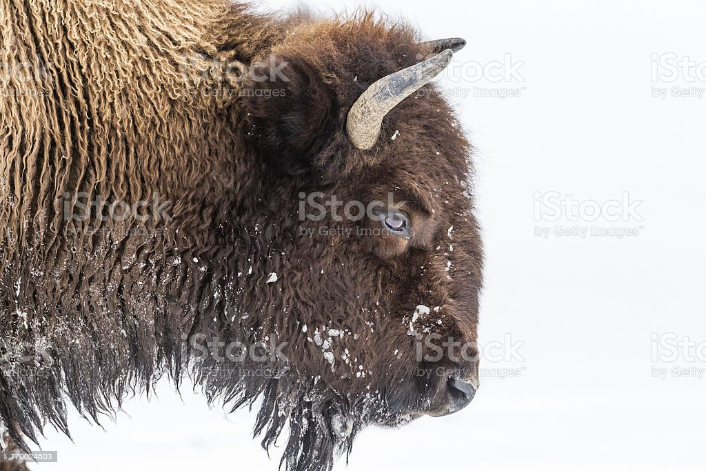 Bison in Winter royalty-free stock photo