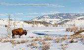 American Bison, Buffalo