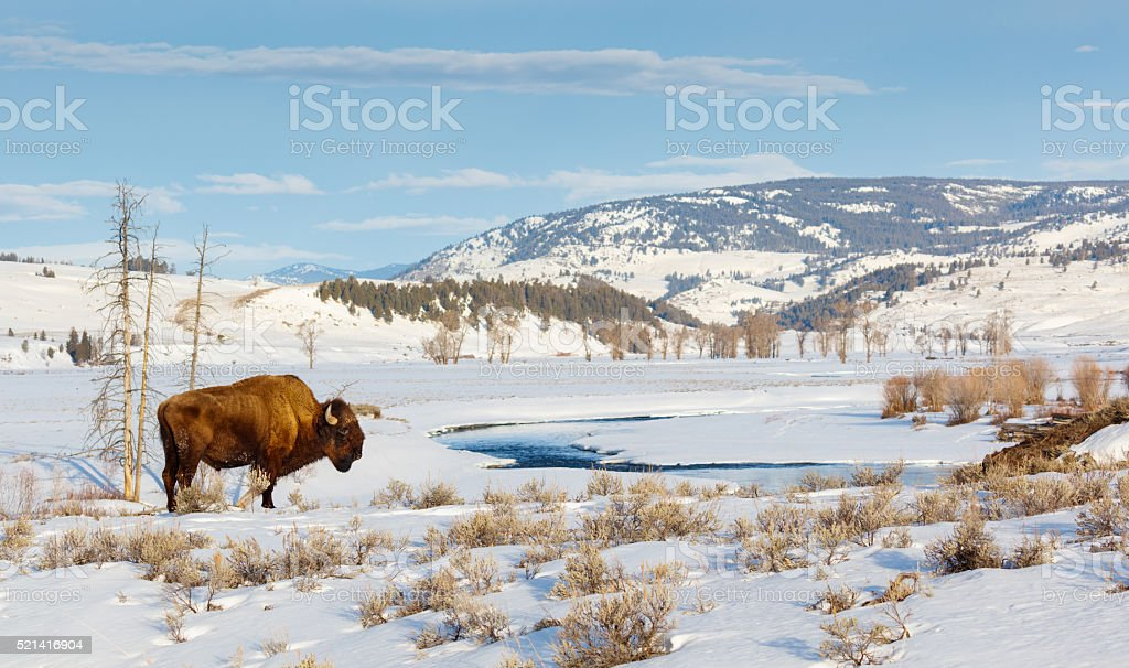 Bison in Winter stock photo