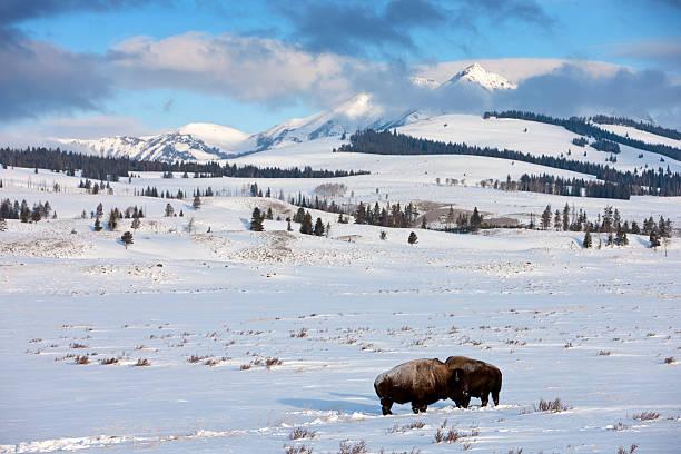Bison in Yellowstone Mountain Range stock photo