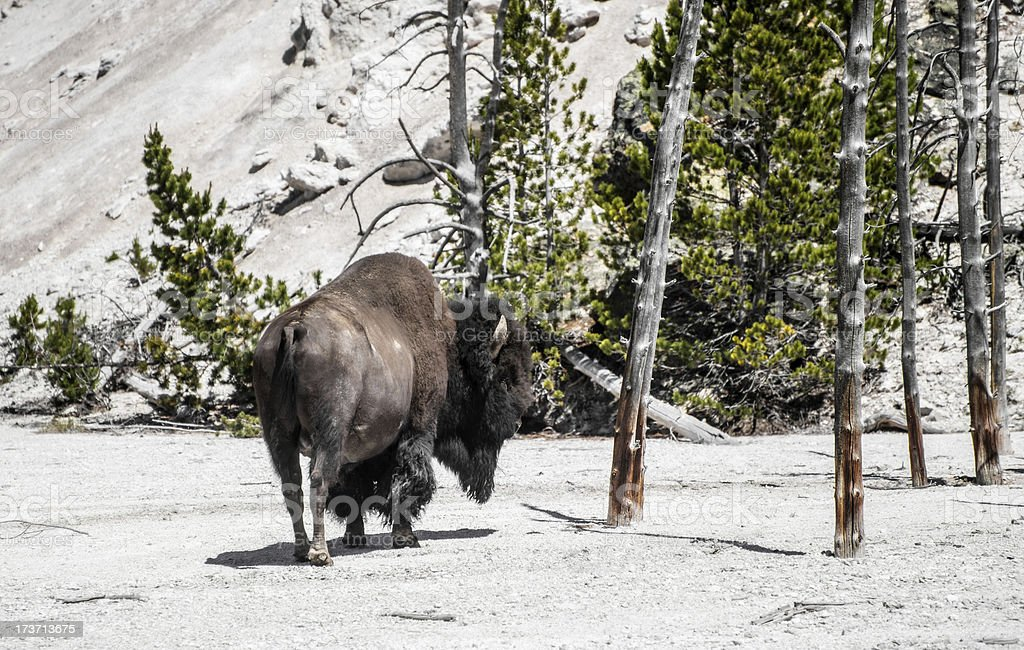 Bison in Yellowstone National Park royalty-free stock photo