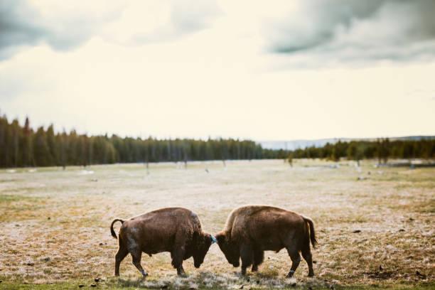 bisons im yellowstone-nationalpark - revierverhalten stock-fotos und bilder