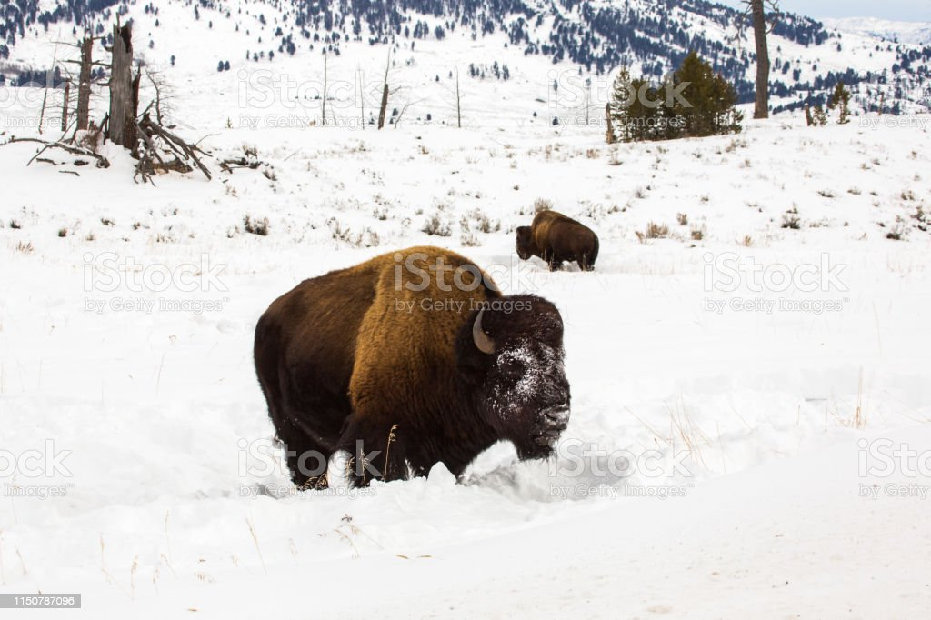 Bison in Yellowstone - Royalty-free American Bison Stock Photo