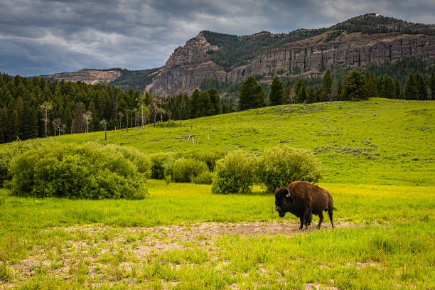 Bison in Yellowstone stock photo