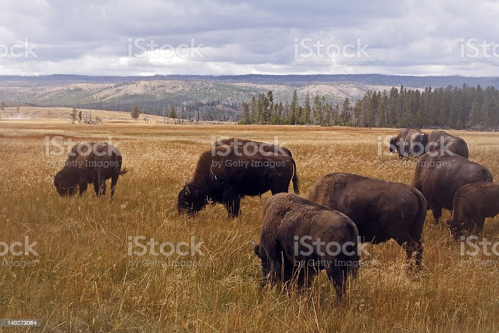 Bison in Yellowstone royalty-free stock photo