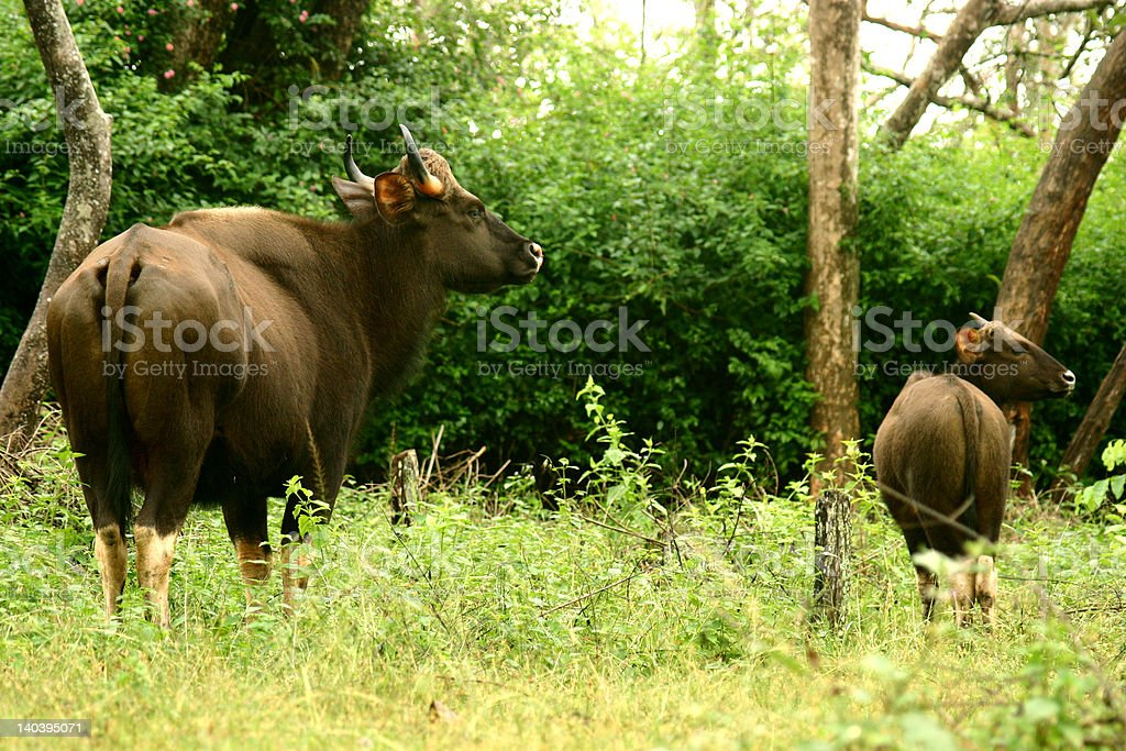 Bison - Indian Gaur stock photo