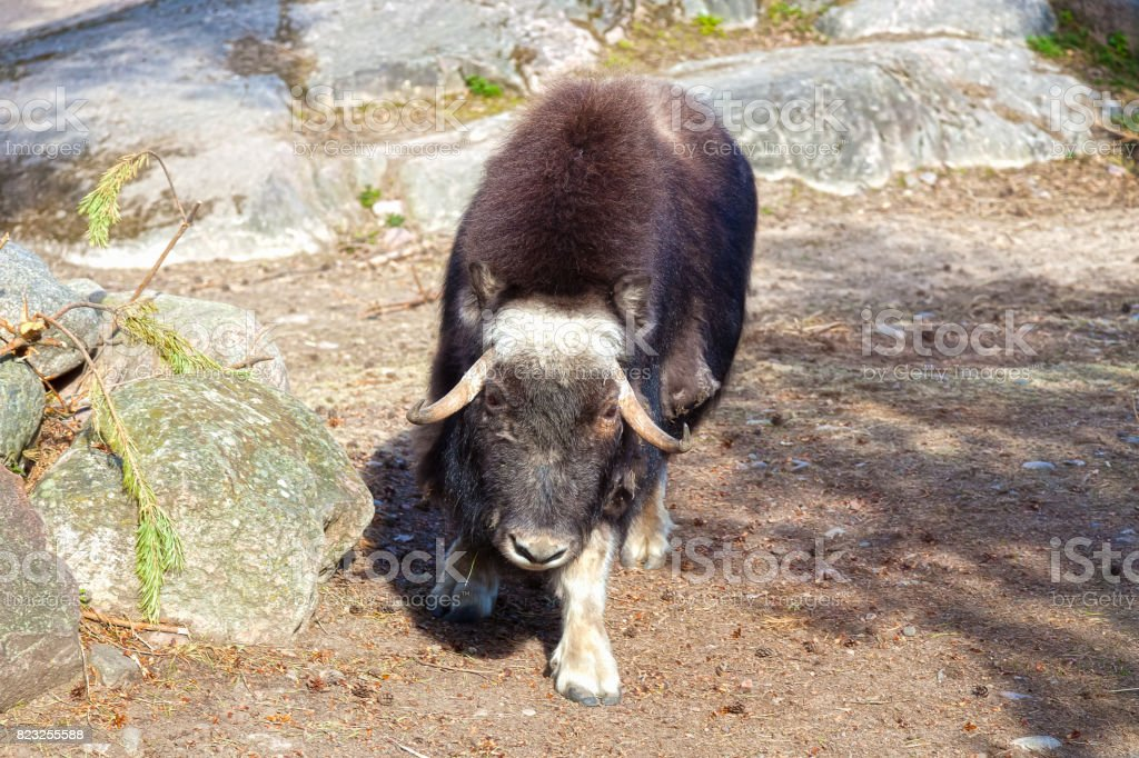 Bison is calmly standing stock photo