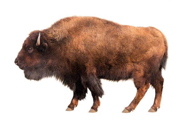 bison isolated on white bison isolated on white background bull animal stock pictures, royalty-free photos & images