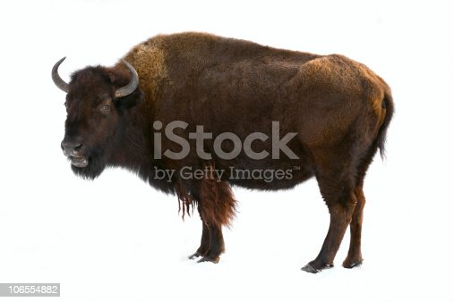 bison isolated on white background