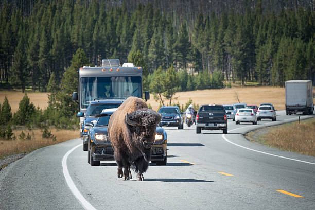 Bison Leads Traffic in Yellowstone stock photo