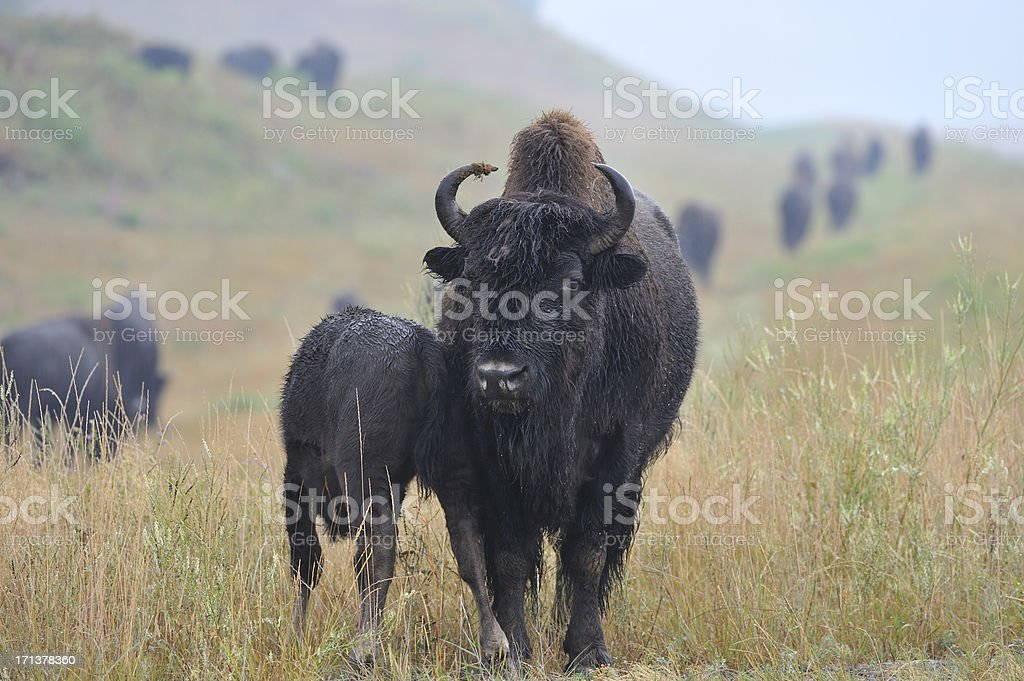 Bison, mother and baby royalty-free stock photo