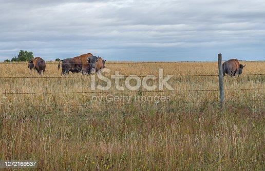 istock Bison (Buffalo) near the town of Delia, Alberta 1272169537