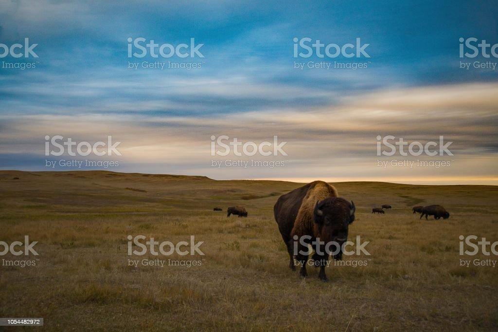 Bison von Theodore-Roosevelt-Nationalpark – Foto