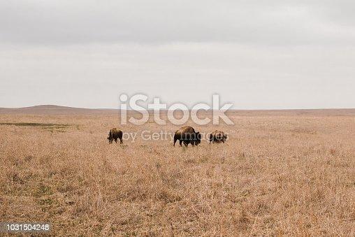 Three bison in the flint hills of Kansas