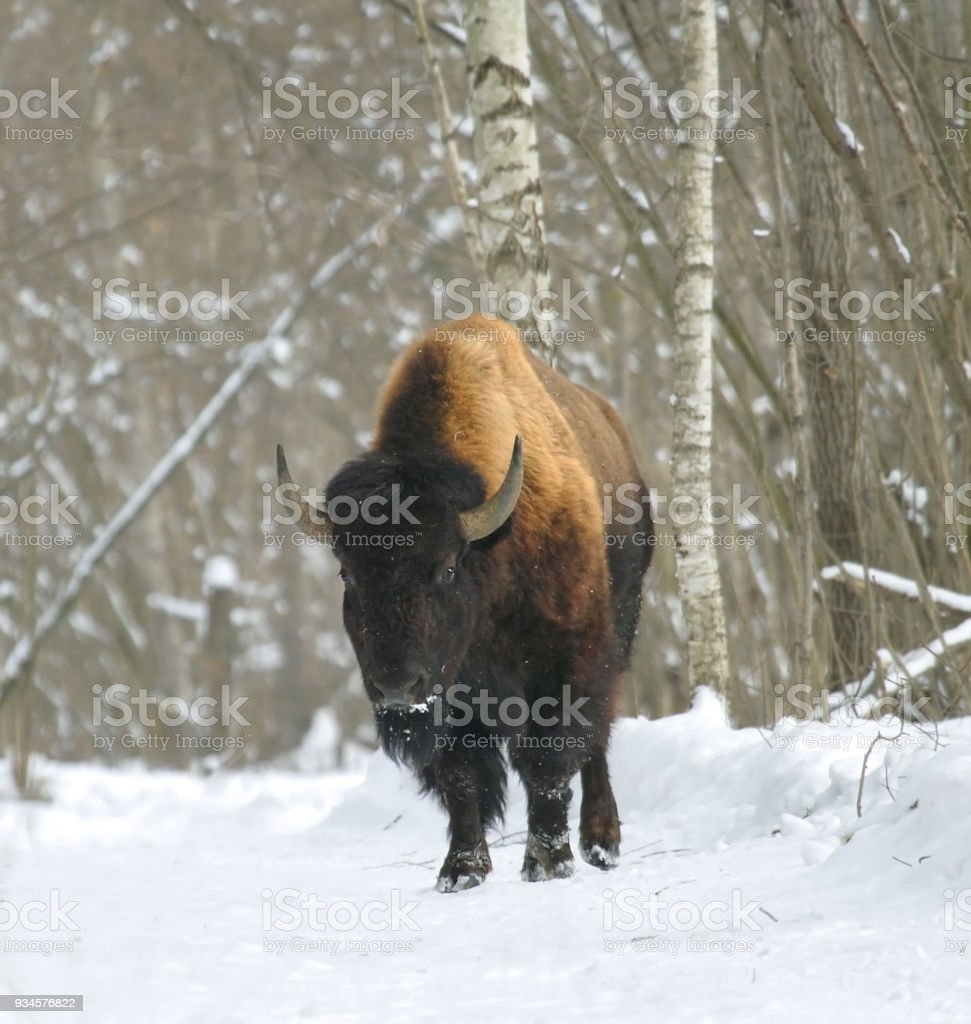 Bison on a snow-covered forest glade stock photo