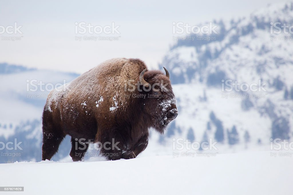 Bison on hill in Yellowstone stock photo