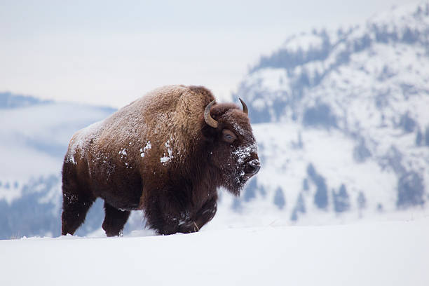 Bison on hill in Yellowstone bildbanksfoto