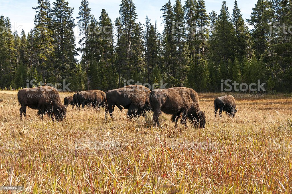 Bison on meadow in Yellowstone. stock photo