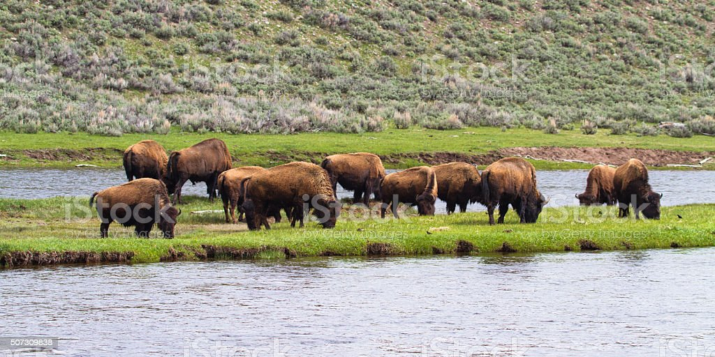 Bison on riverbank stock photo