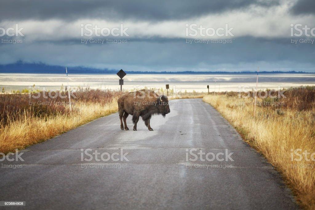 Bison sur route dans le Parc National de Grand Teton, Wyoming, USA. - Photo