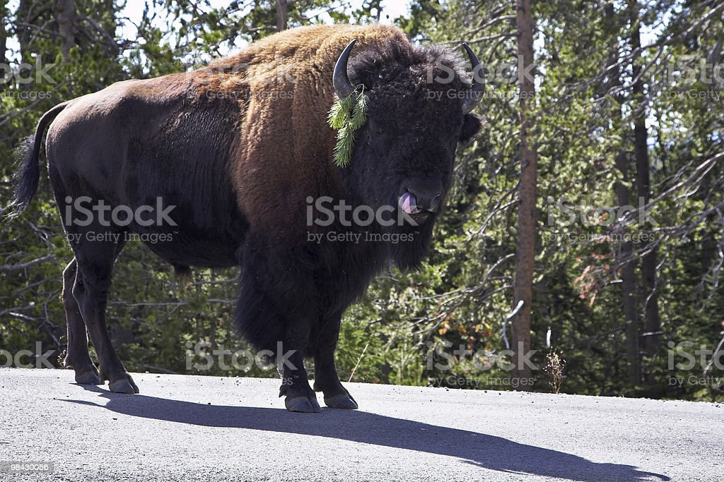 Bison on road in Yellowstone national park royalty-free stock photo