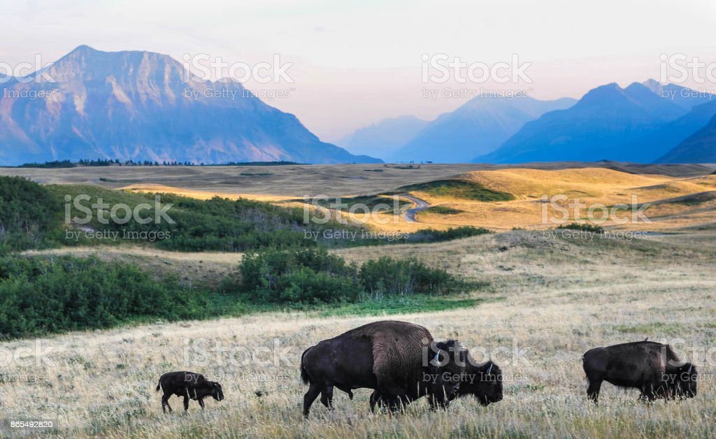 Bison on the Alberta Prairie stock photo