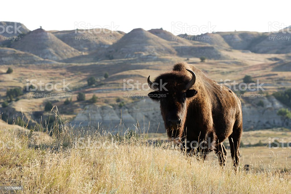Bison on the landscape of grass and hills stock photo