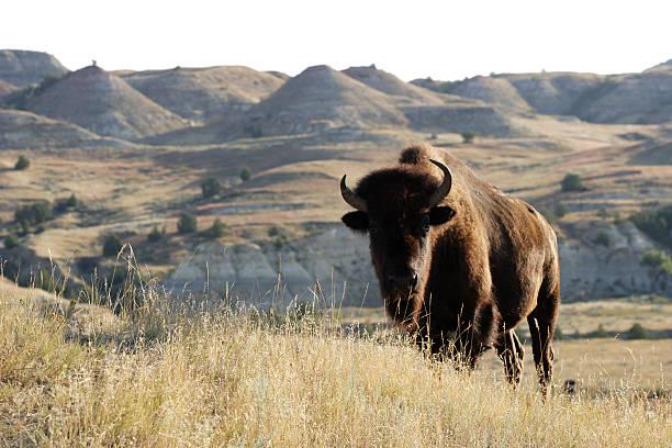Bison on the landscape of grass and hills bildbanksfoto