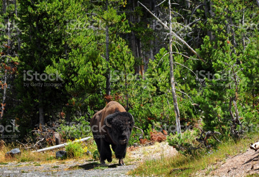Bison on the Move in Yellowstone Large bison with horns, moves along wooded glade in Yellowstone National Park. American Bison Stock Photo