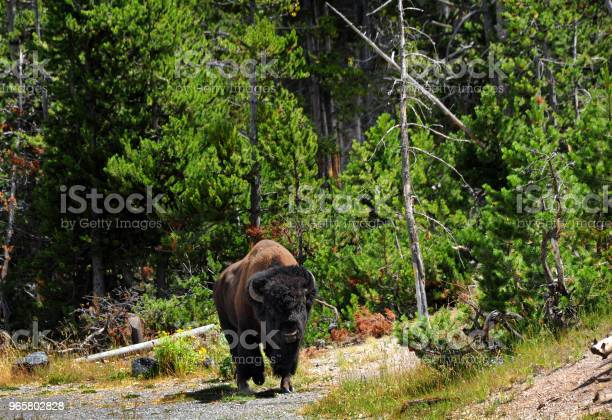 Bison On The Move In Yellowstone Stock Photo - Download Image Now