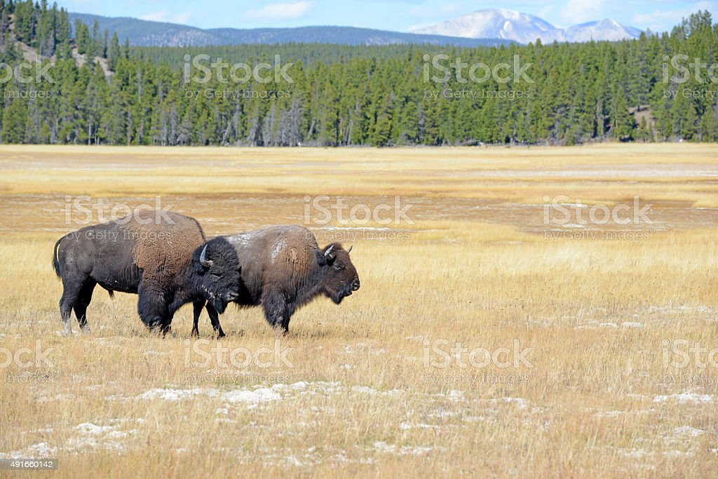 Bison or American buffalo, one of America's largest mammals stock photo