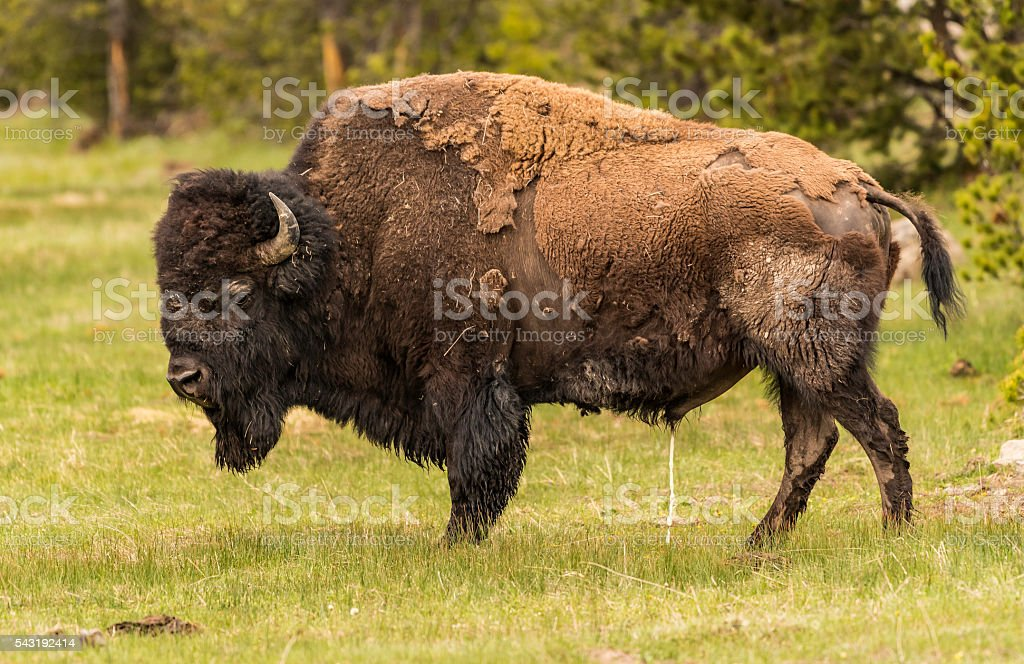 Bison pee pee in the field of green grass stock photo