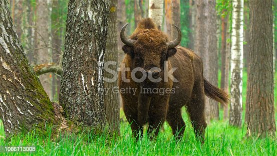 Bison in Russia forest near river Oka