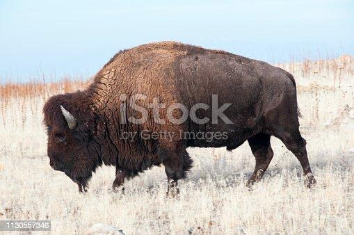 Bison grazing on Antelope Island Utah