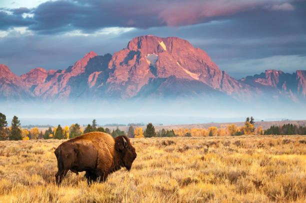 bisonte - fauna selvatica foto e immagini stock