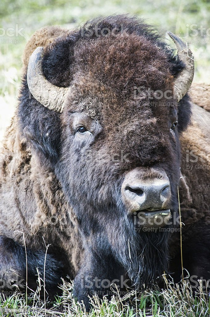 Bisonte americano foto de stock libre de derechos