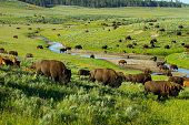 Herd of Bison in the Hayden Valley, Yellowstone National park.