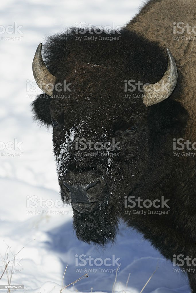 Bison, royalty-free stock photo
