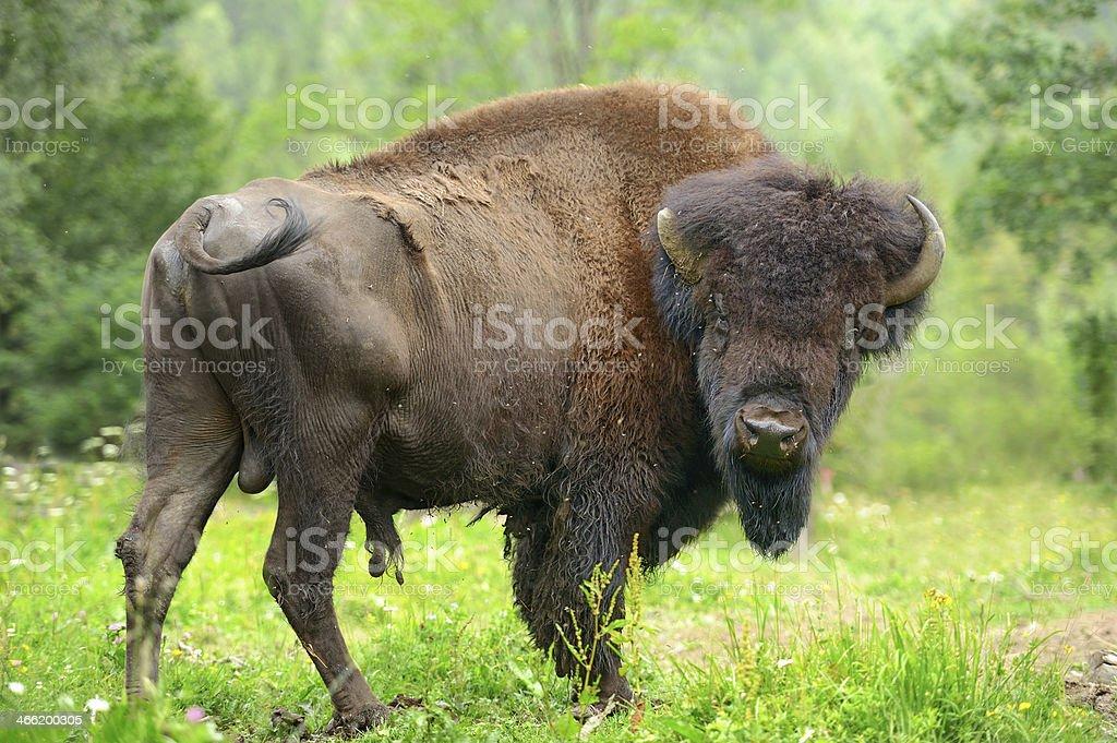 Bison royalty-free stock photo