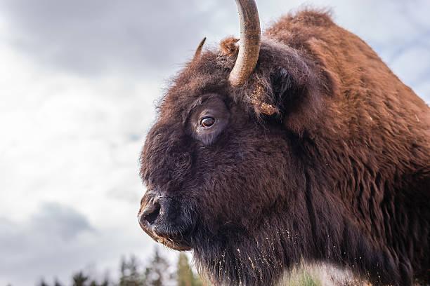 Bison bildbanksfoto