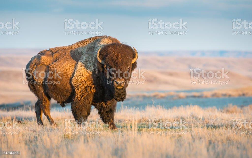Bison  - Photo