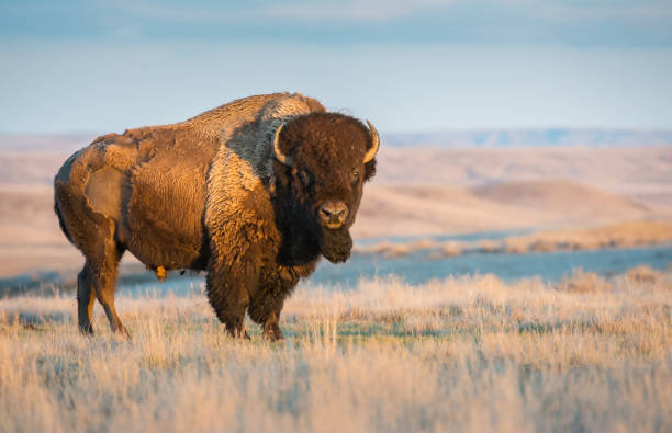 29,042 American Buffalo Stock Photos, Pictures & Royalty-Free Images -  iStock