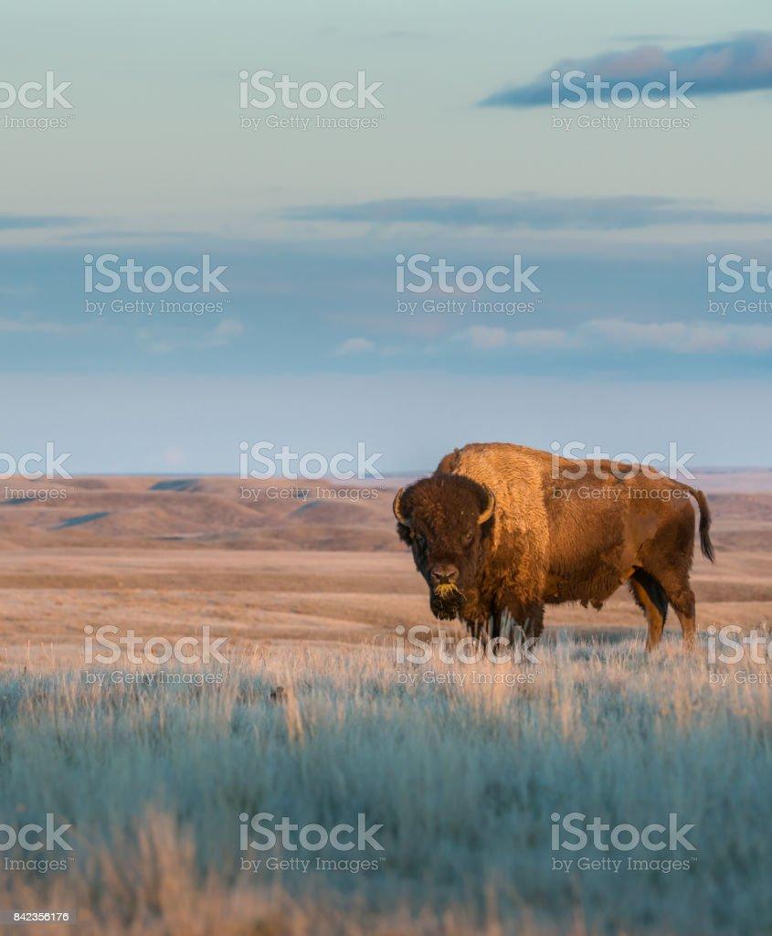 Bison  – Foto