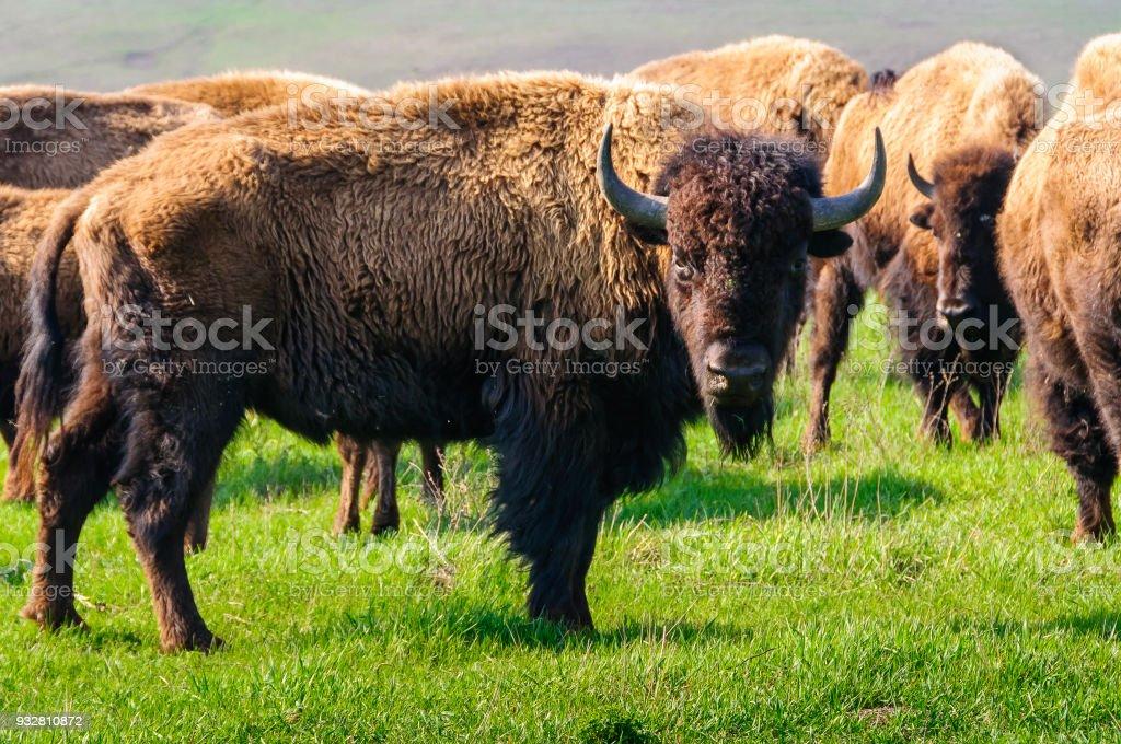 Bison. bildbanksfoto