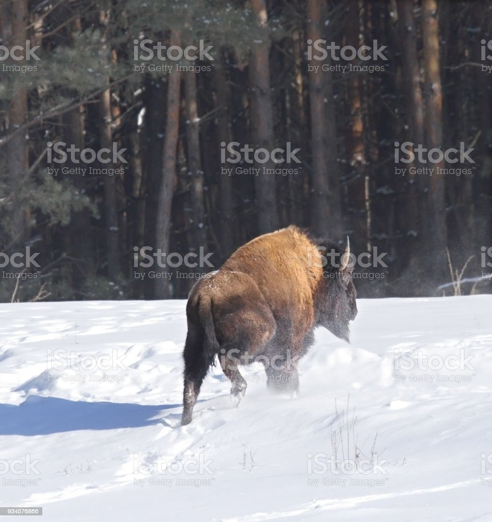 Bison. stock photo
