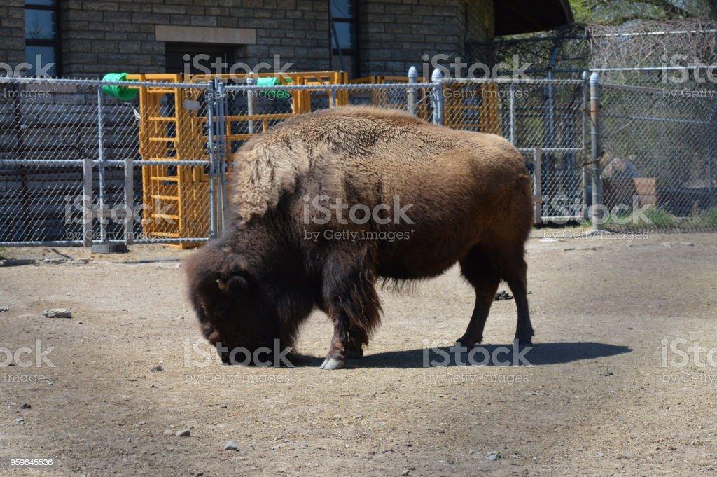 Bisonte americano  - Foto de stock de Aire libre libre de derechos
