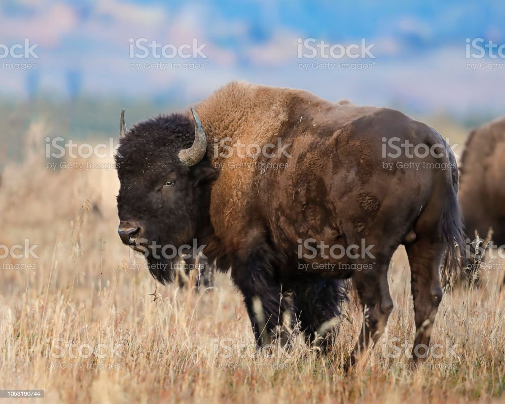 Bison posing for the photographer stock photo