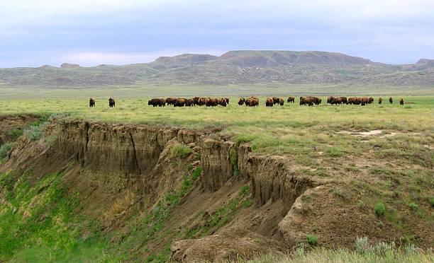 bison range the open badlands and grasslands - great plains stock photos and pictures